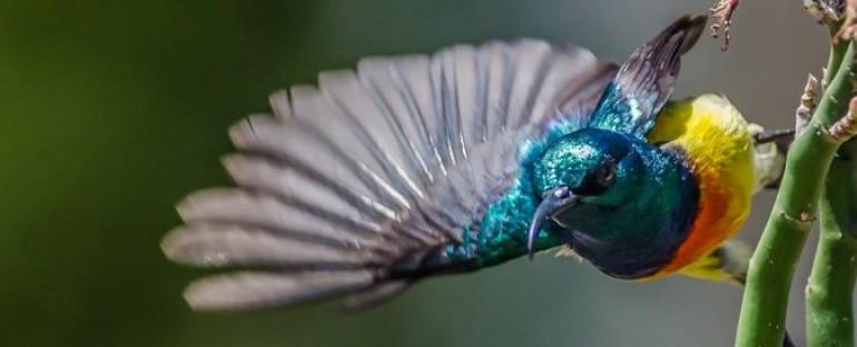 Nouvelle fiche oiseau : le Souimanga de Mayotte