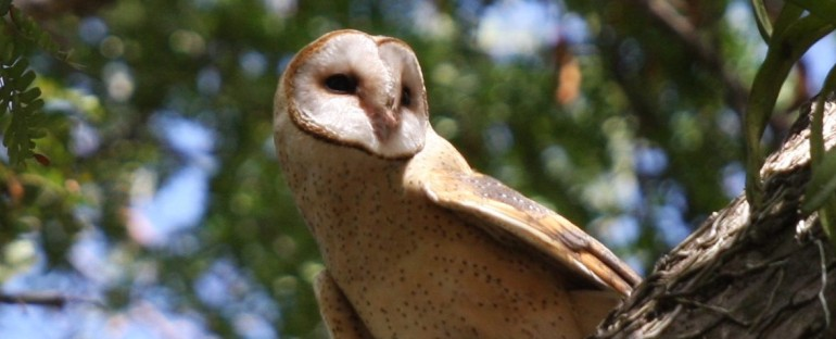 Nouvelle fiche oiseau : la Chouette effraie