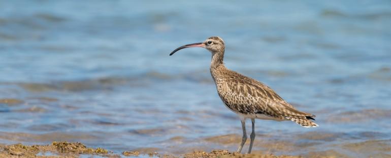 Nouvelle fiche oiseau : le courlis corlieu