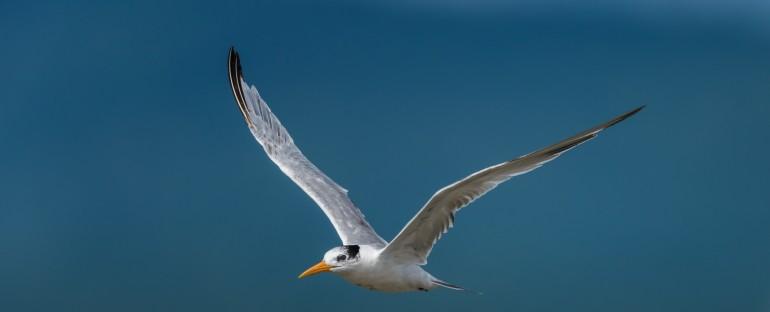 Nouvelle fiche oiseau : la Sterne voyageuse