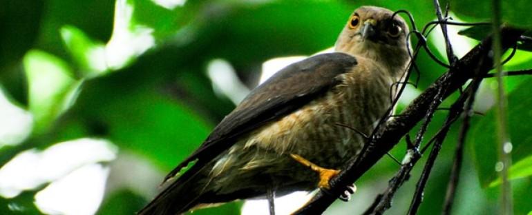 Nouvelle fiche oiseau : l'épervier de Francès