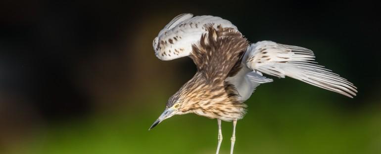 Nouvelle fiche oiseau : le Crabier blanc