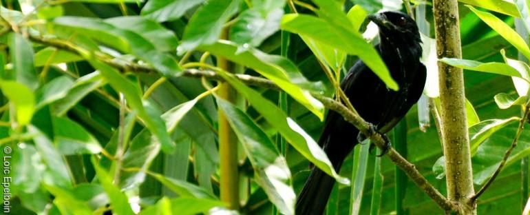 Nouvelle fiche oiseau : le Drongo de Mayotte