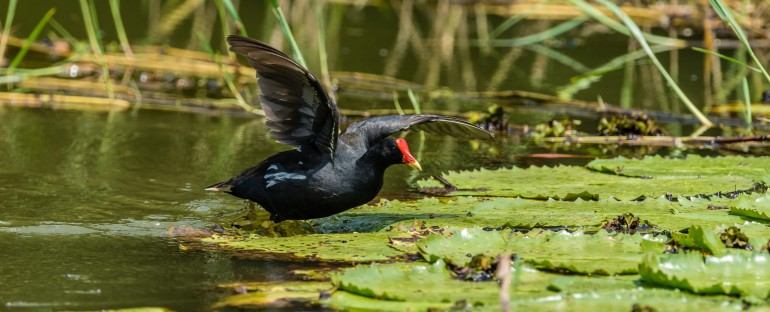 L'oiseau du mois :  la Poule d'eau