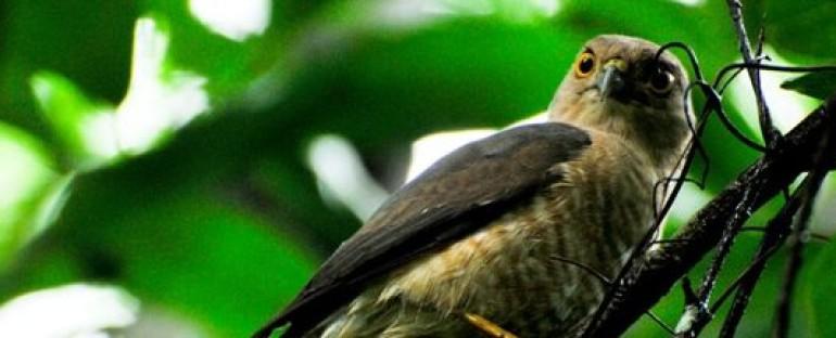 Nouvelle fiche oiseau : l'Epervier de Francès