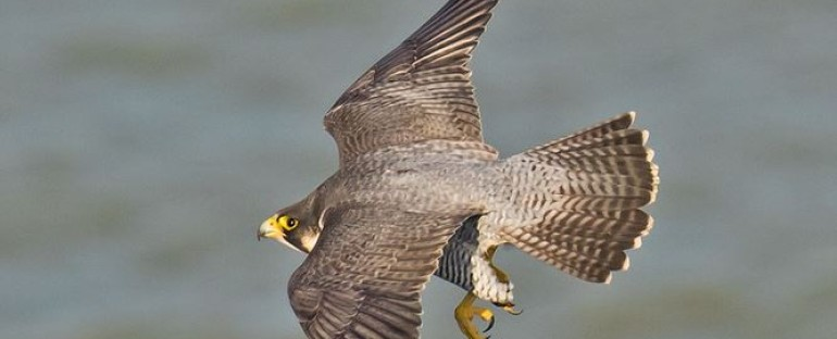 Nouvelle fiche oiseau : le faucon pèlerin
