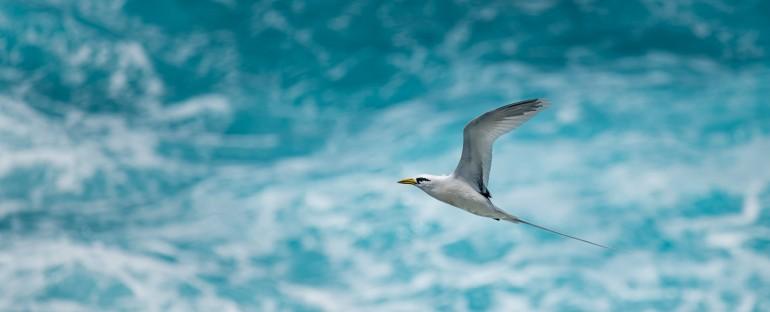 L'oiseau du mois : le Phaéton à bec jaune