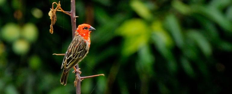 Les oiseaux du mois : Foudi des Comores et Foudi de Madagascar