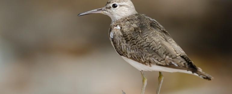 L'oiseau du mois :  le Chevalier Guignette