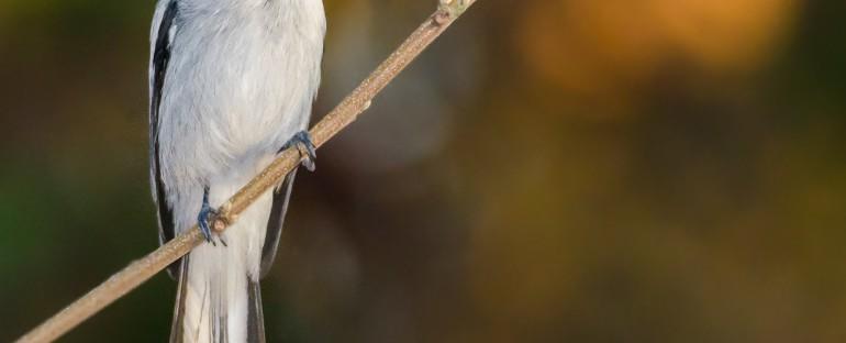 L'oiseau du mois :  le moucherolle de Madagascar
