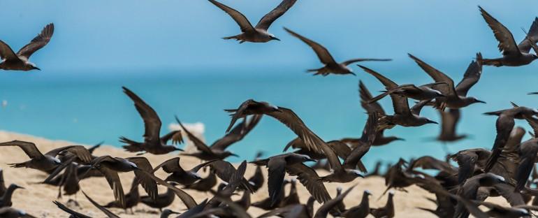 L'oiseau du mois :  le Noddi brun