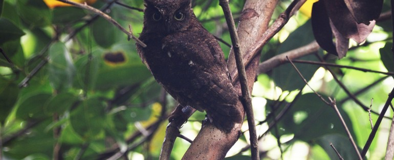 L'oiseau du mois :  le Petit duc de Mayotte