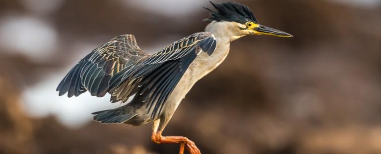 L'oiseau du mois : le Héron strié